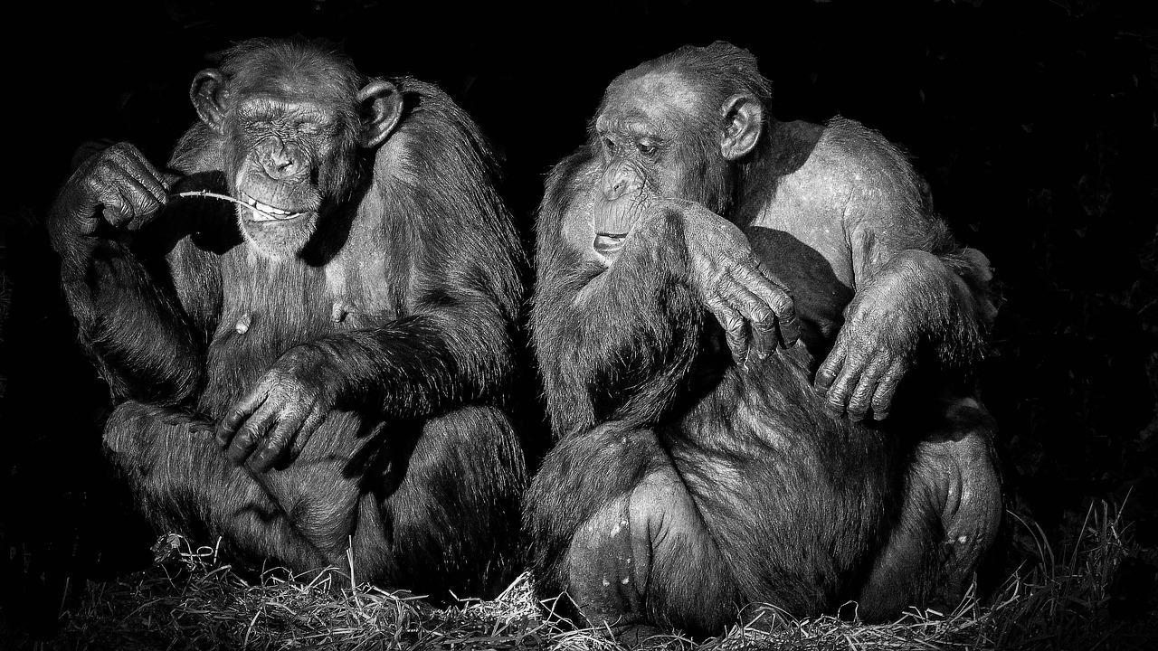 Жестикуляция шимпанзе подчиняется лингвистическим законам