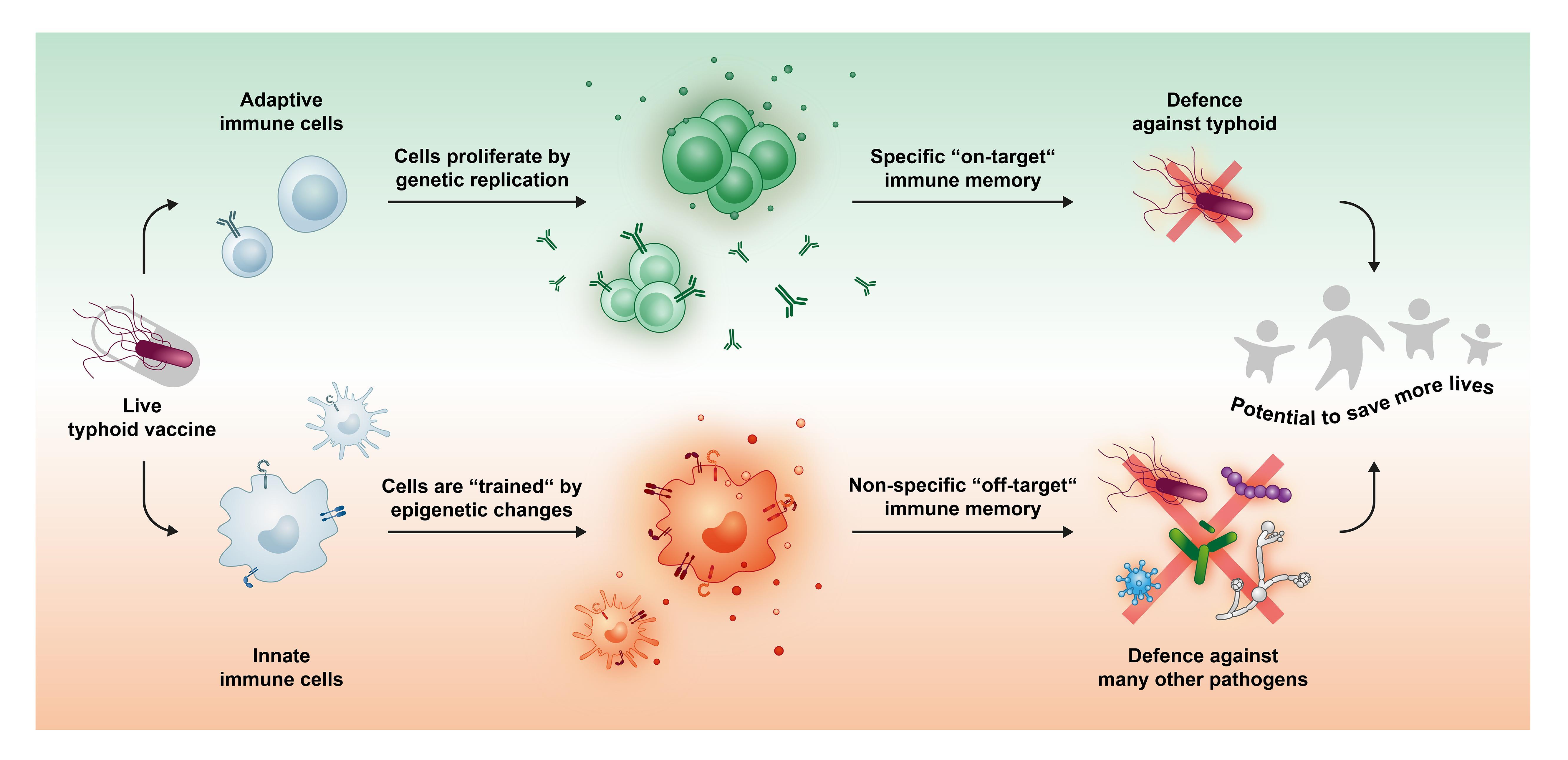 Вакцина против возбудителя брюшного тифа помогла иммунным клеткам атаковать другие патогены