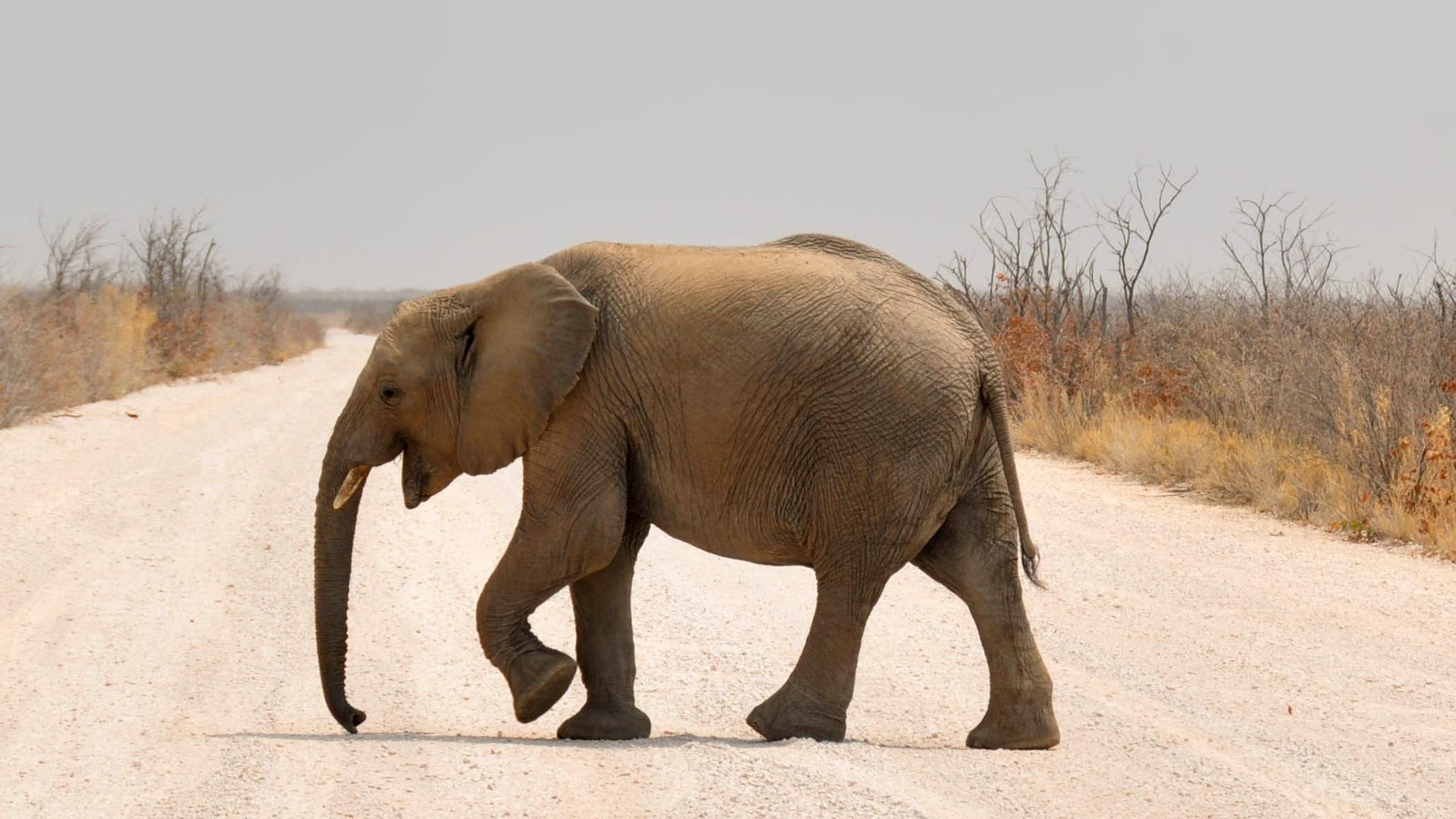 Как ходят слоны