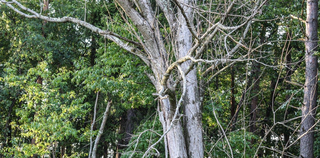 Может ли генная инженерия спасти исчезающие леса?