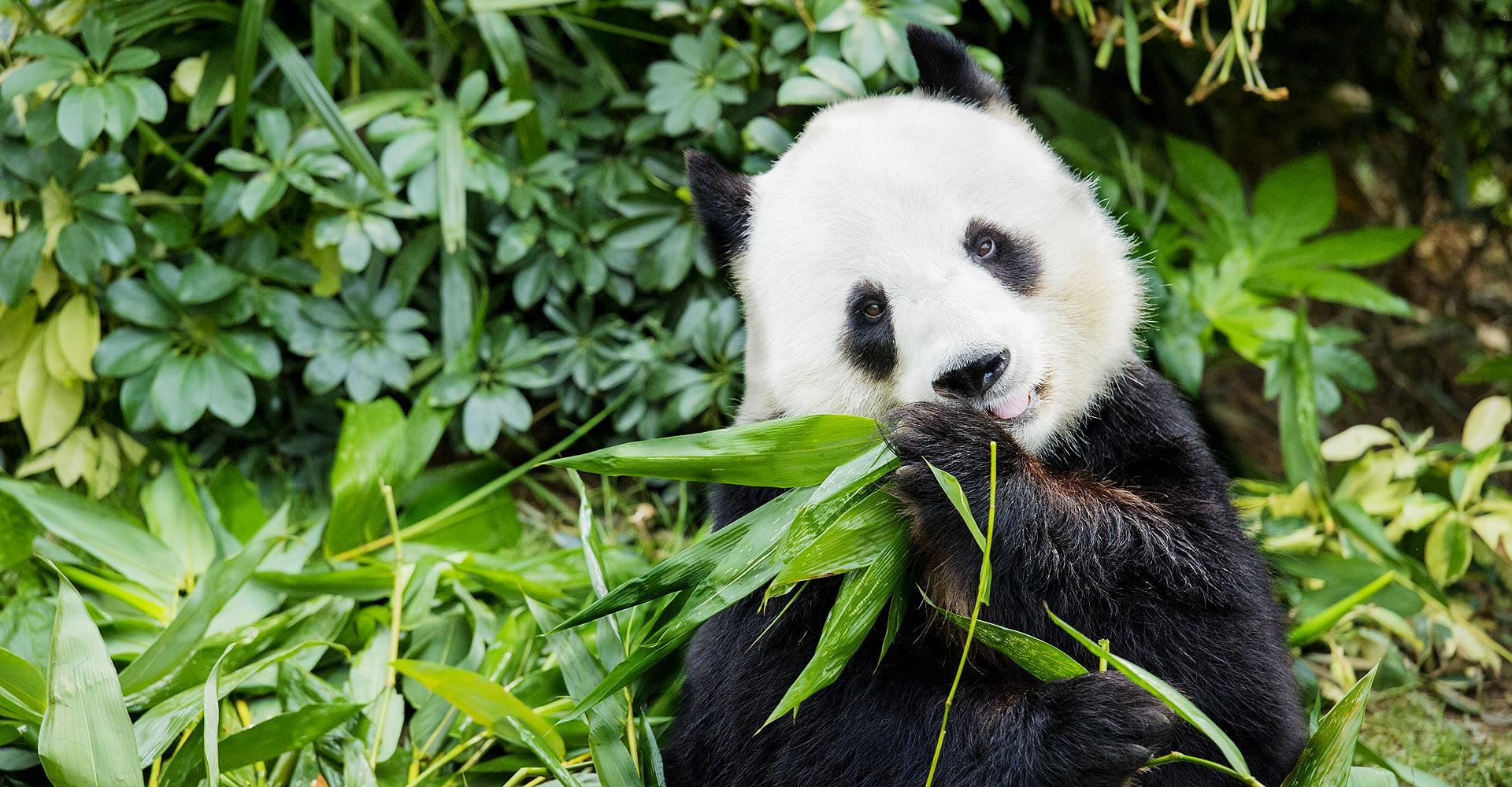 Панды перешли на бамбуковую диету не более 5 тысяч лет назад
