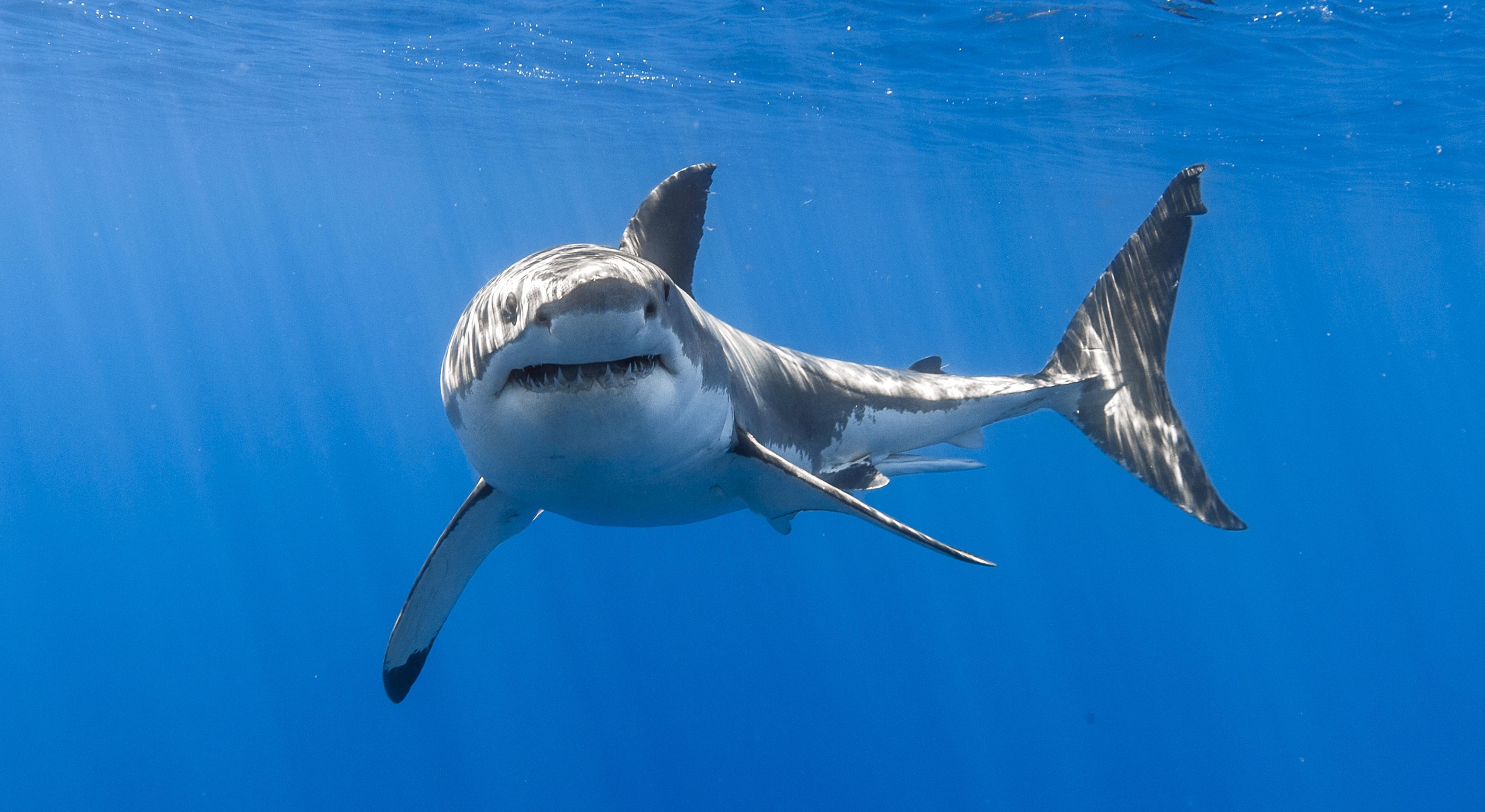 Генетики объяснили долгожительство белых акул
