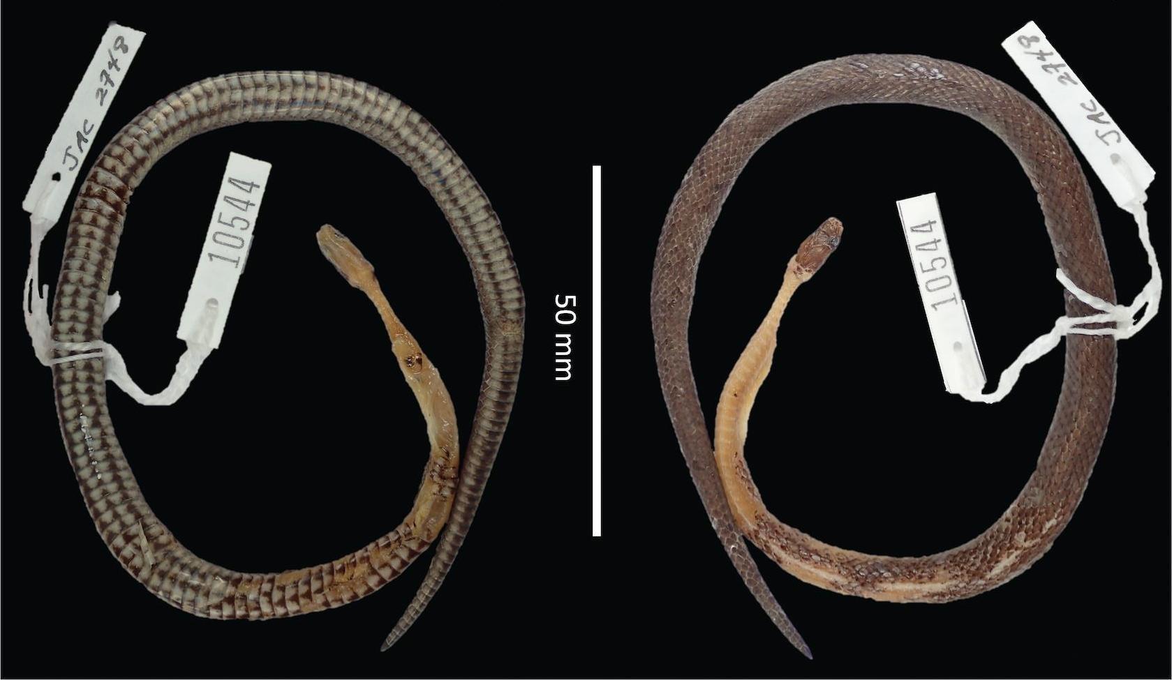 Учёные обнаружили змею нового вида в другой змее