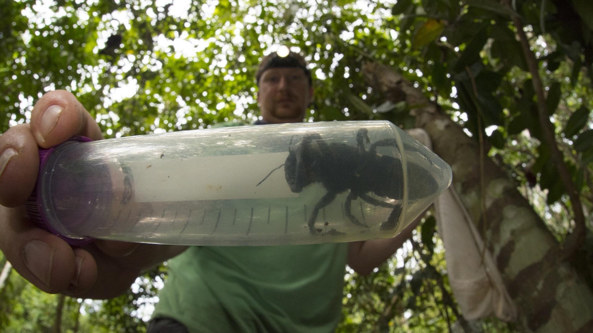 Крупнейшая в мире пчела найдена в Индонезии