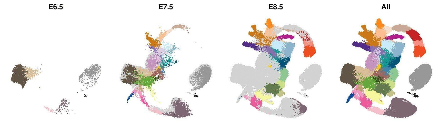 Мышиный эмбрион разобрали по генам и клеткам
