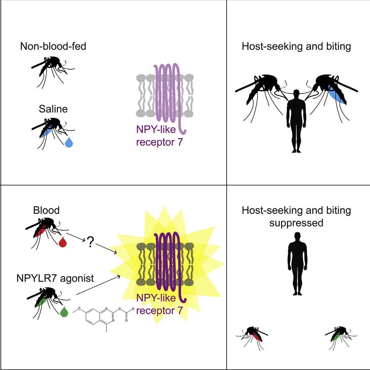 Биологи отключили комарам аппетит