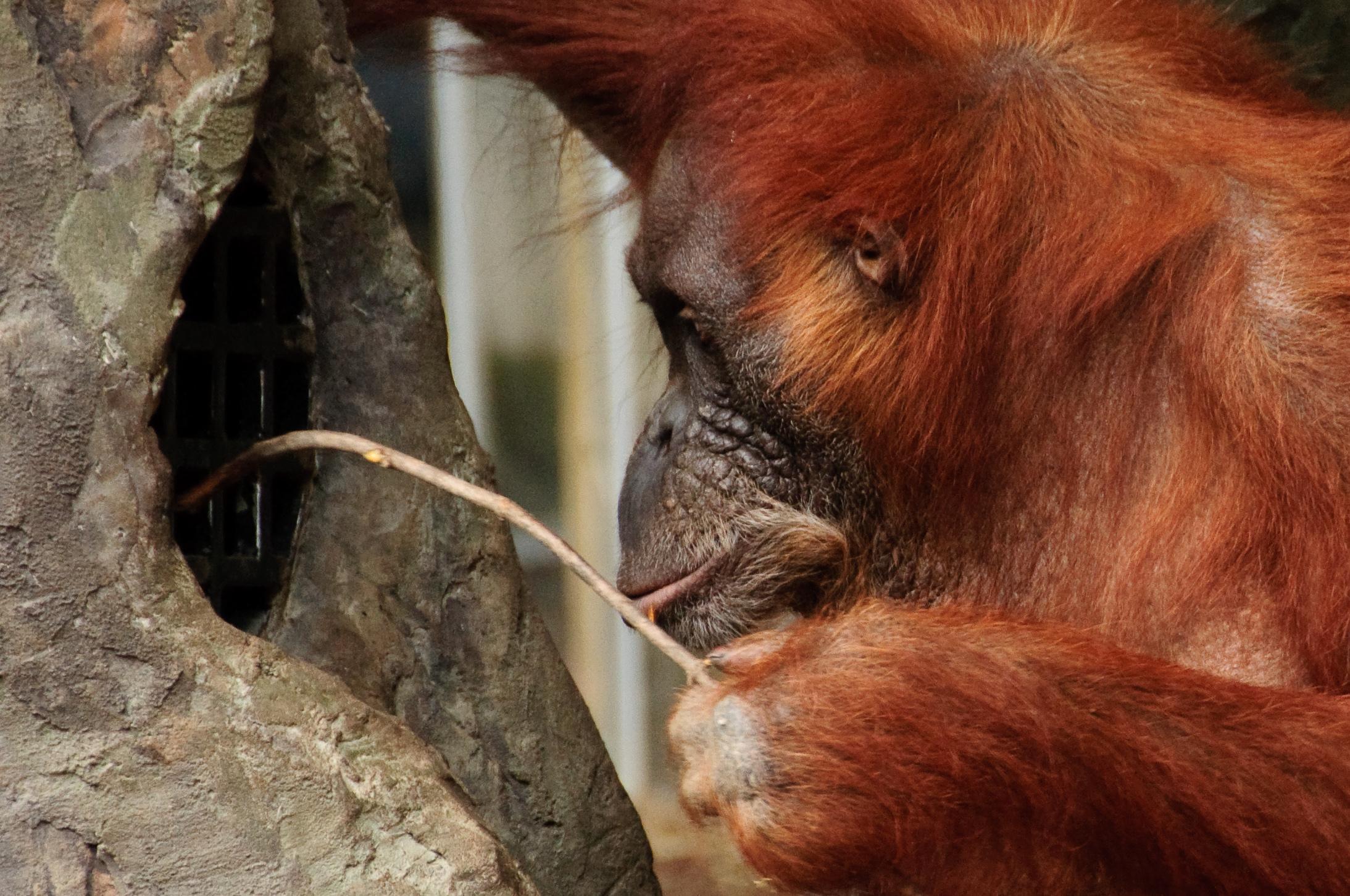 Орангутаны научились использовать орудия с выгодой для себя