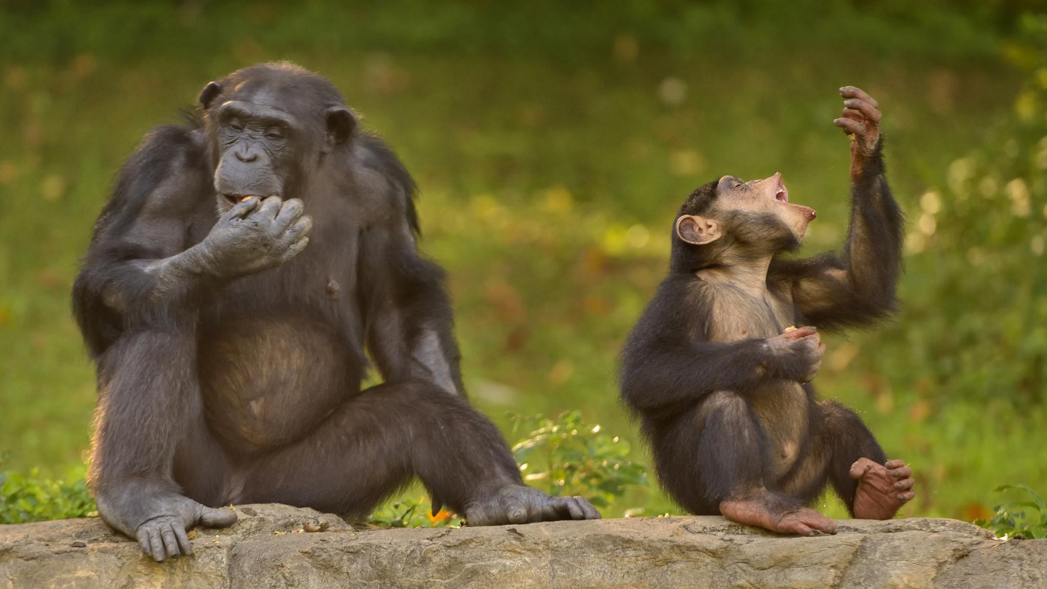 Шимпанзе быстрее людей учатся бить орехи