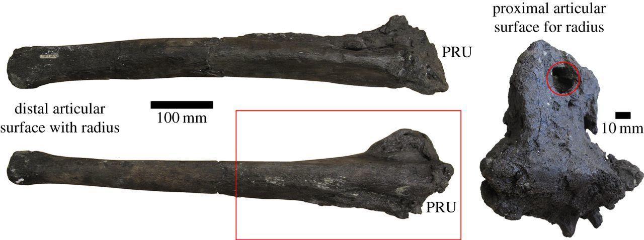 Палеонтологи впервые обнаружили артрит у динозавра