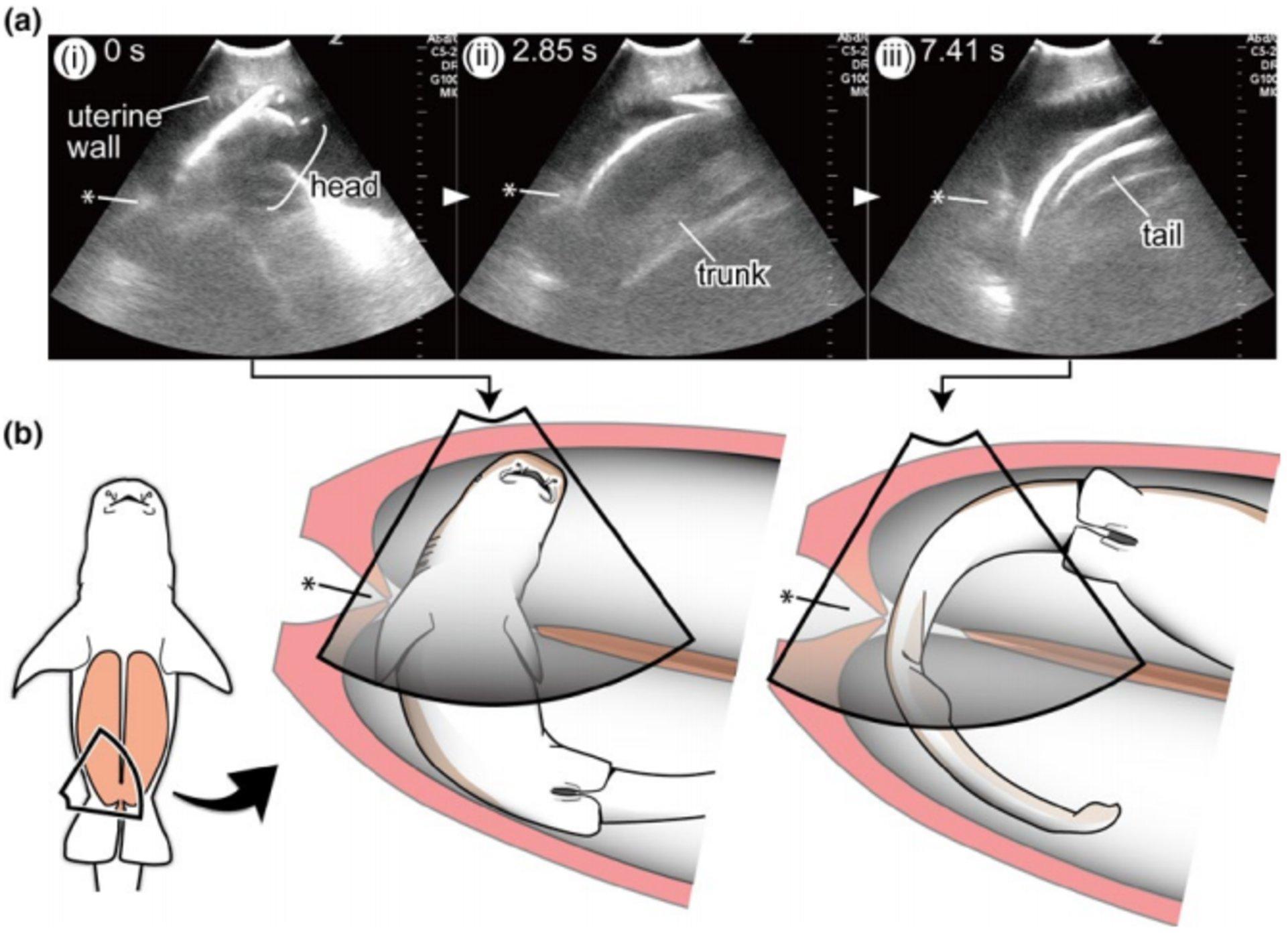 Эмбрионы акул перемещаются между матками матери и поедают конкурентов