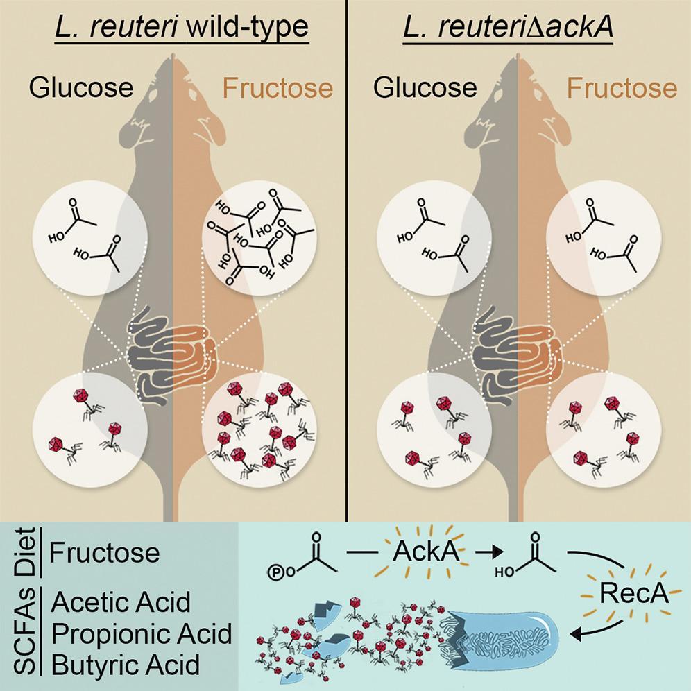 Фруктоза может активировать вирусы в кишечной микробиоте
