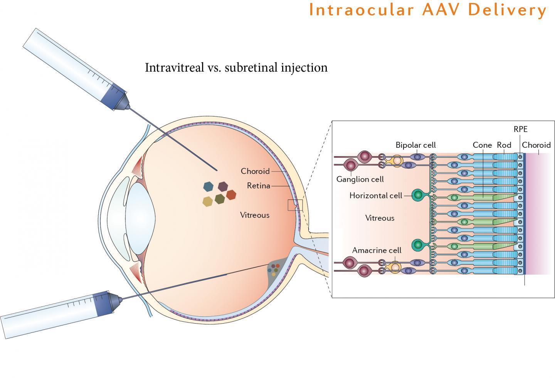 Введение одного гена возвратило мышам зрение