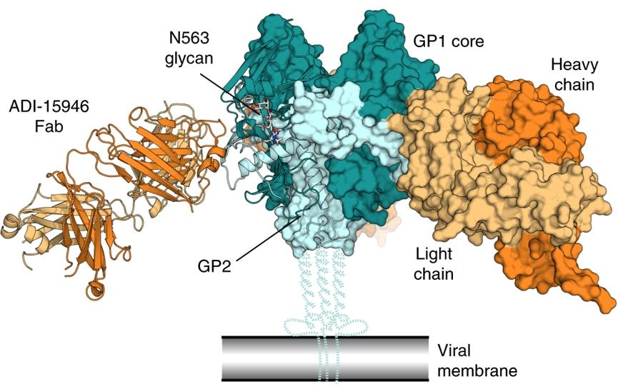 Три замены помогли антителу стать эффективным против трех групп эболавирусов