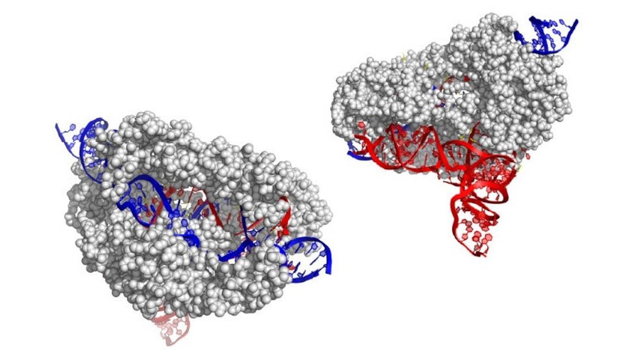 Учёные описали новый генный редактор CRISPR-CasX