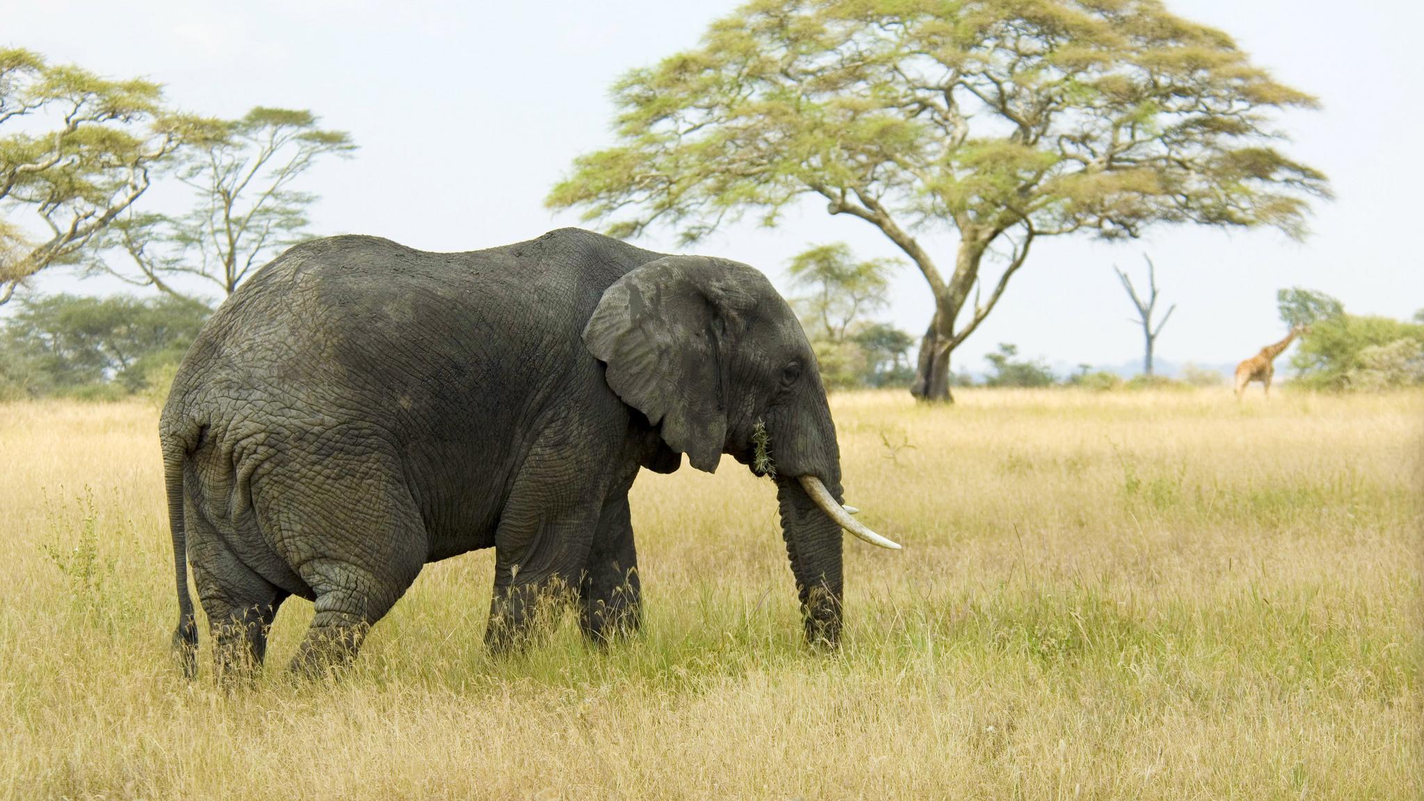 Из-за браконьерства у африканских слонов перестали расти бивни