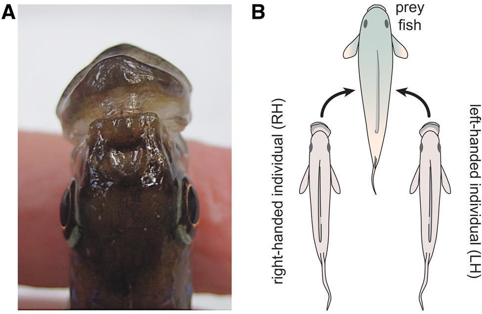 «Левочелюстность» цихлид объяснили анатомическими различиями в мозге