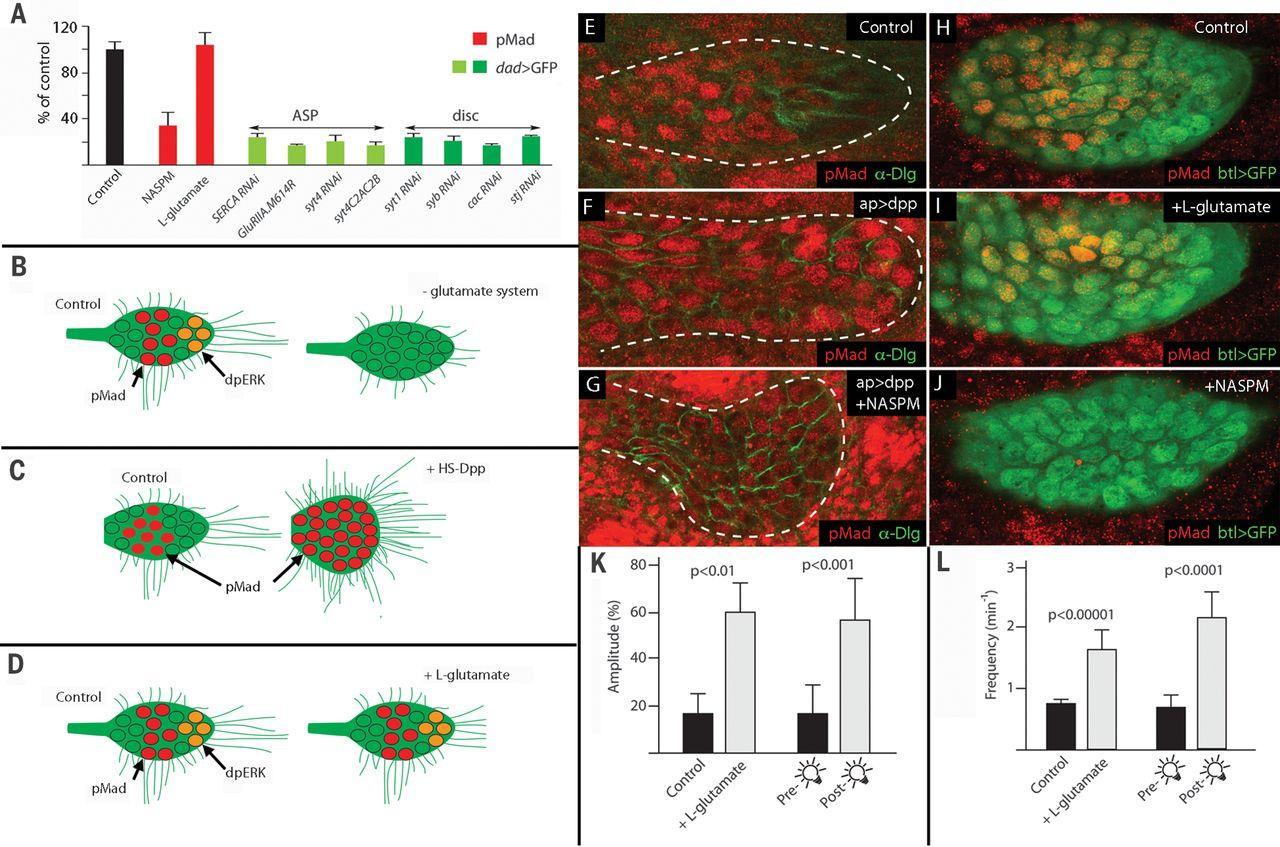 Не только нейроны: учёные нашли сигнальную архитектуру в «ненервных» клетках