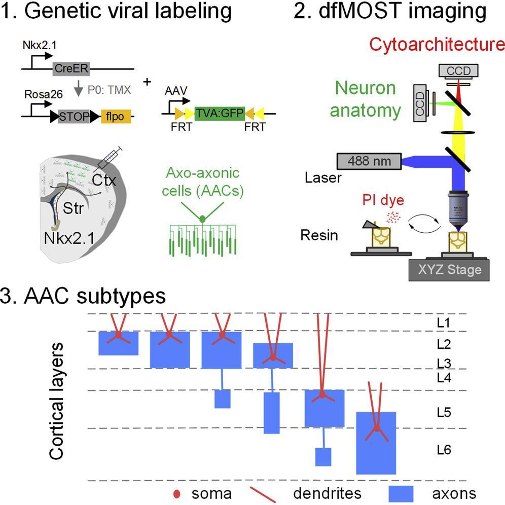 Новый метод картирования мозга и новые нейроны в мозге мыши