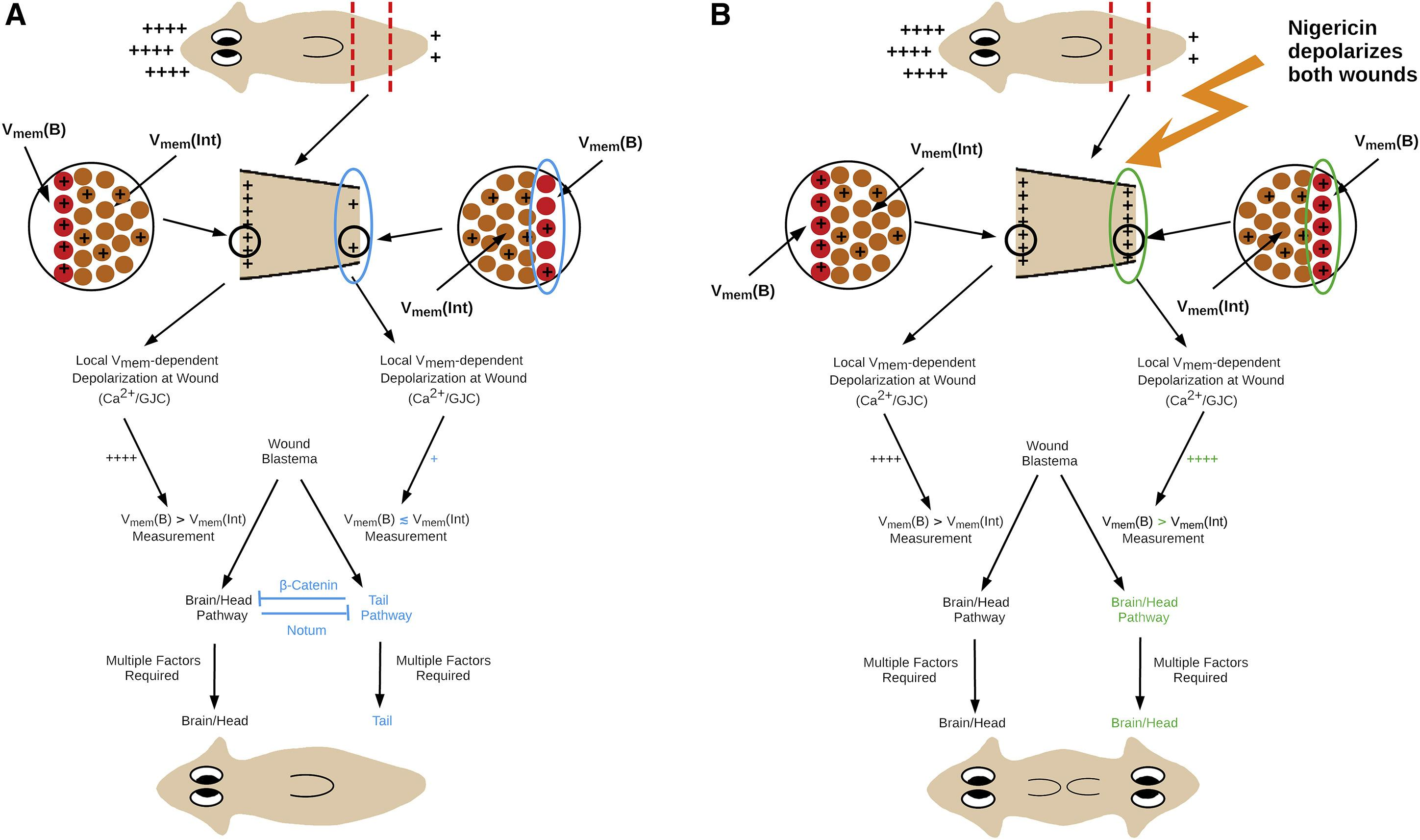 Биоэлектрические сигналы помогли планариям отличить голову от хвоста во время регенерации