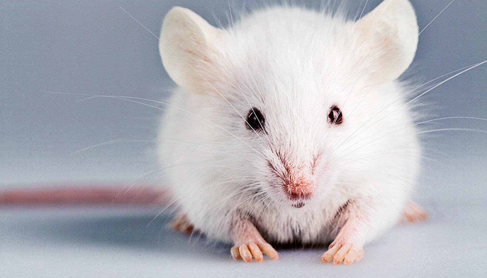 Два белка способствовали частичной регенерации ампутированных пальцев у мышей