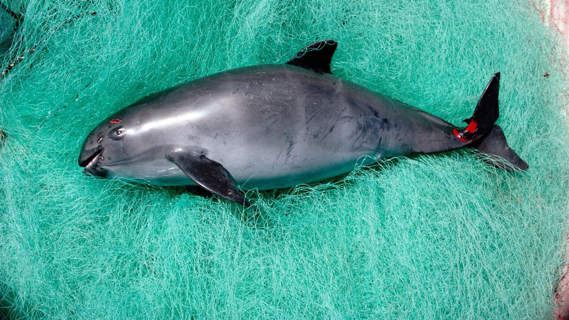 В мире остался всего десяток калифорнийских морских свиней