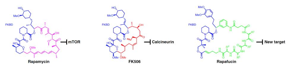 На основе рапамицина можно целенаправленно создавать новые препараты