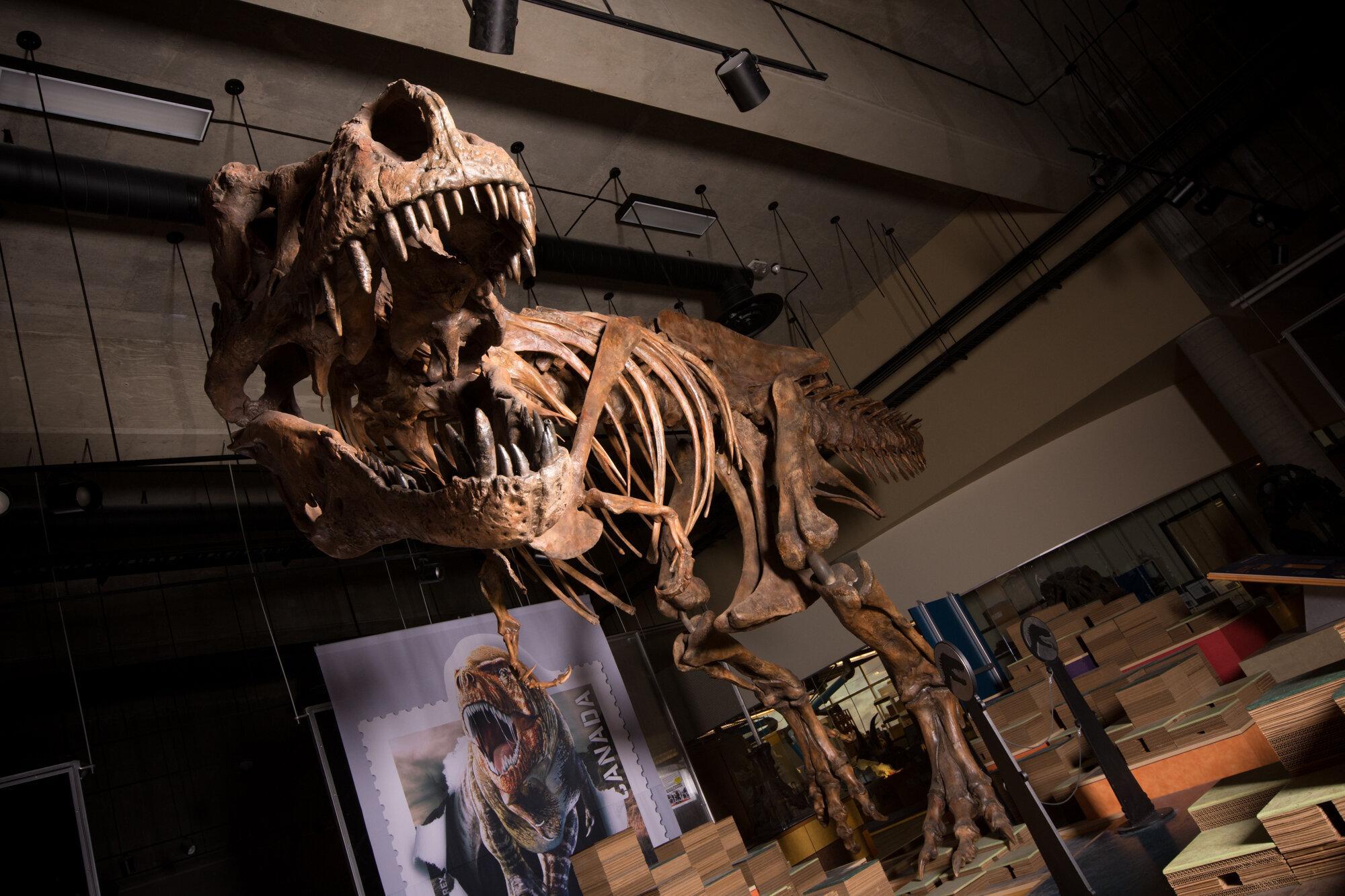 Палеонтологи описали крупнейшего тираннозавра