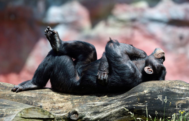 Присутствие человека изменило поведение шимпанзе