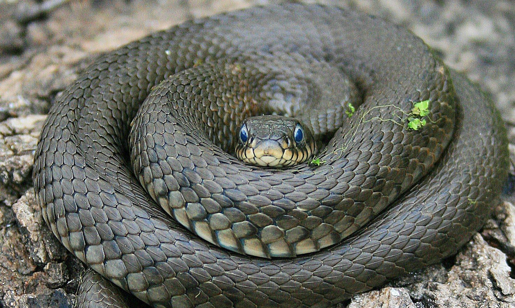 Как змеи потеряли ноги? Отвечают генетики