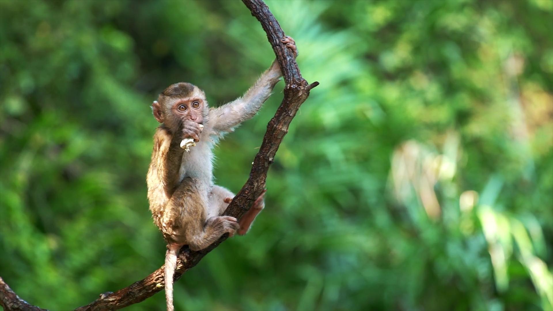 Китайские учёные поместили человеческие гены в обезьян, чтобы сделать их умнее