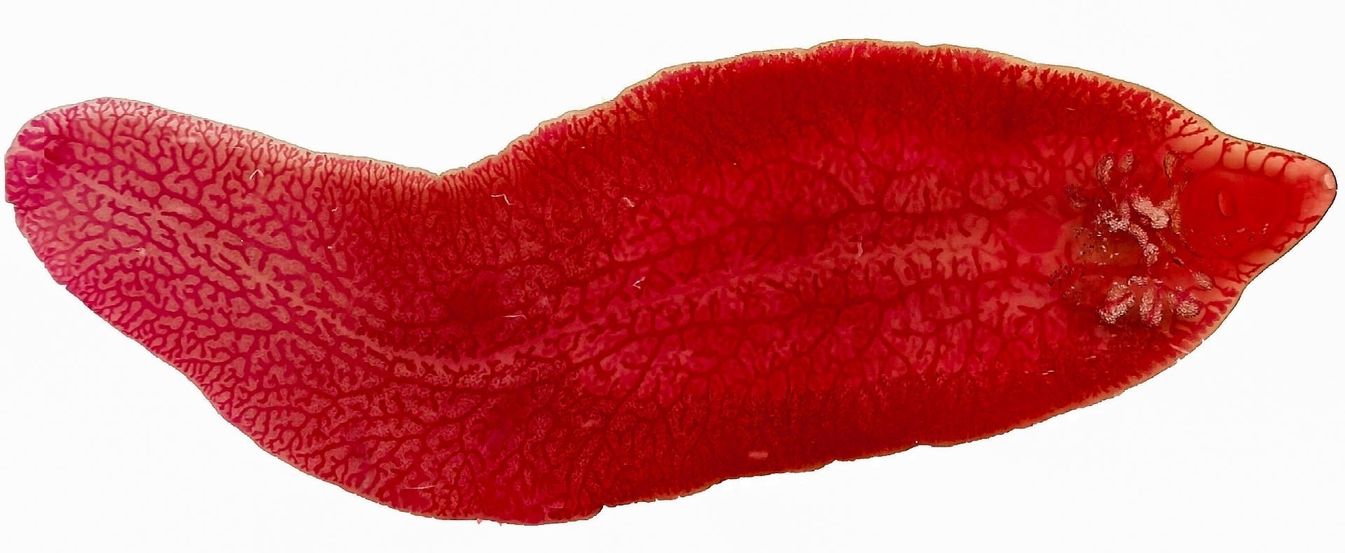 Черви-паразиты становятся причиной рака — и могут помочь вылечить его