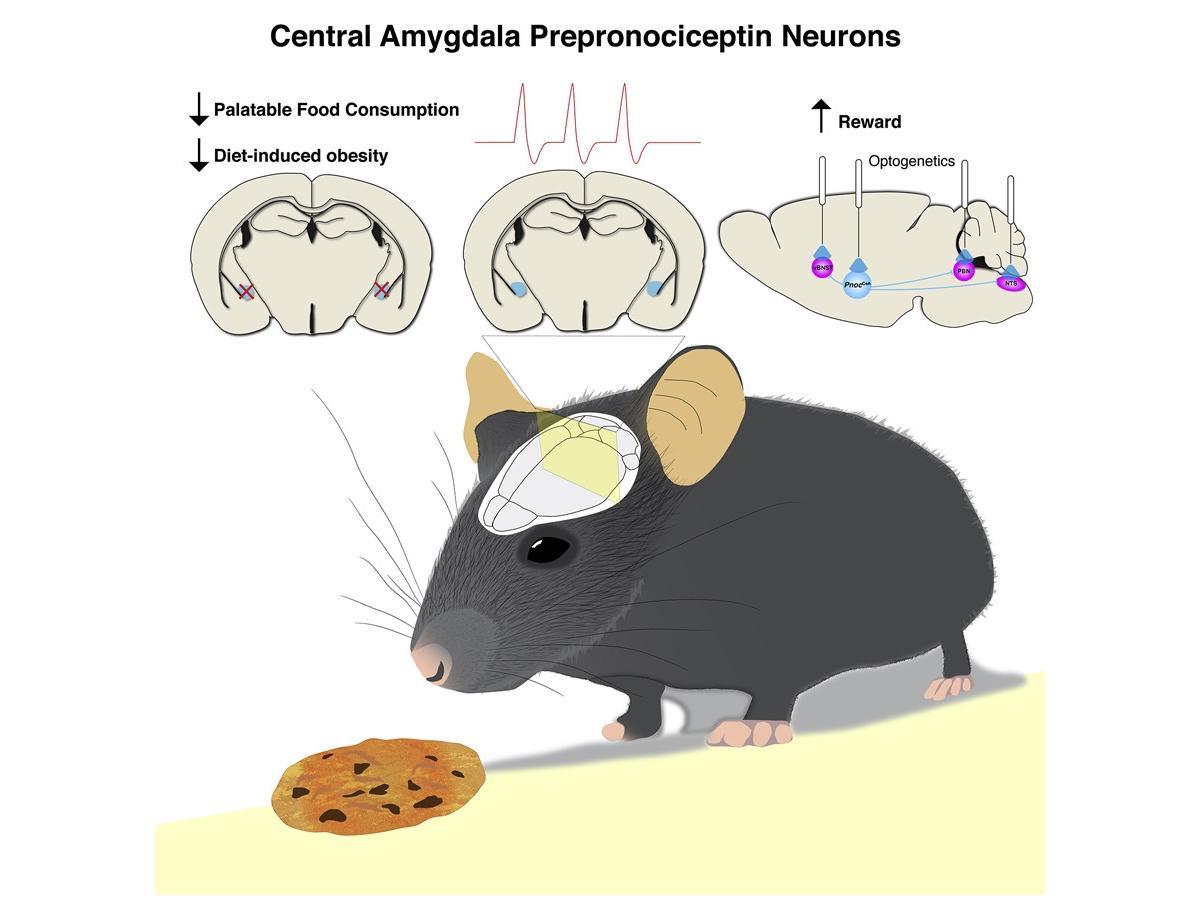 Обнаружены нейроны, способствующие перееданию