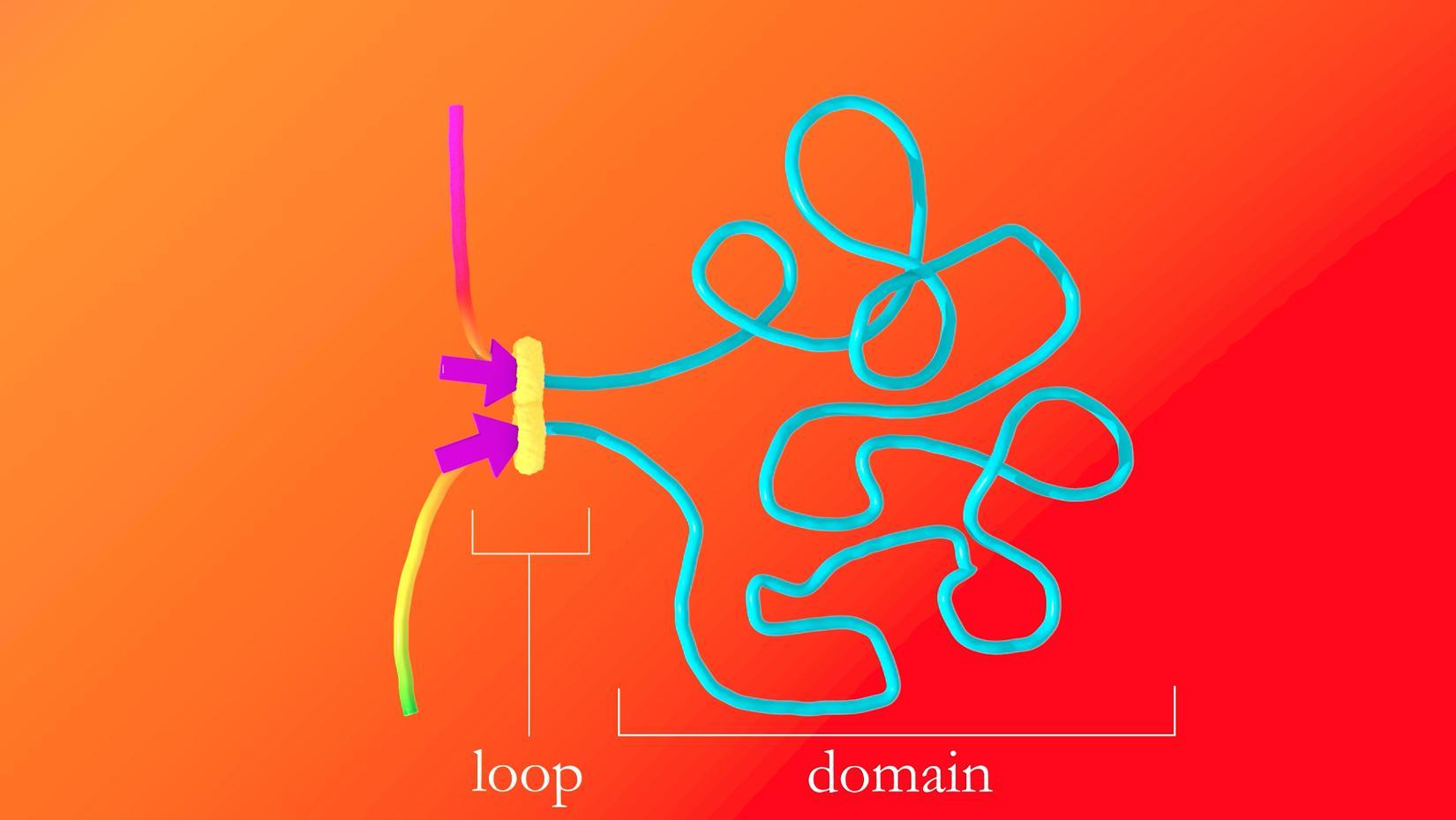 Откуда в хромосоме петли