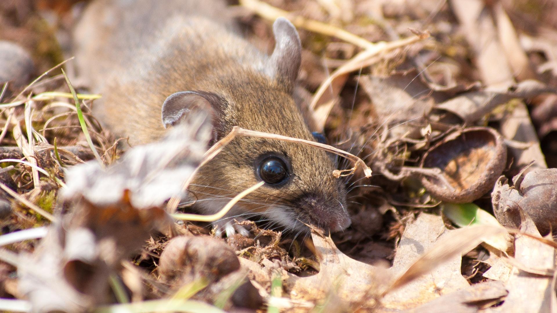 Как мозг мыши связывает звук и вознаграждение