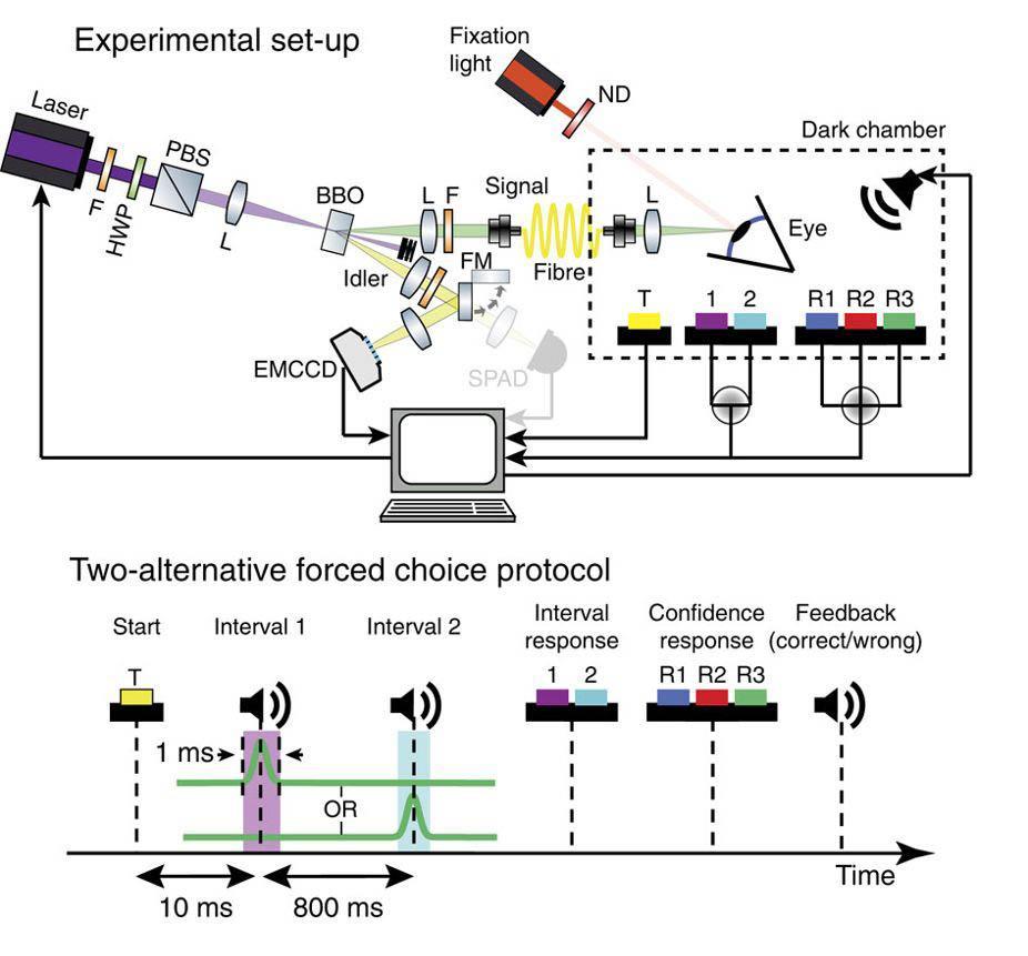 Человек может увидеть один фотон: экспериментальное подтверждение