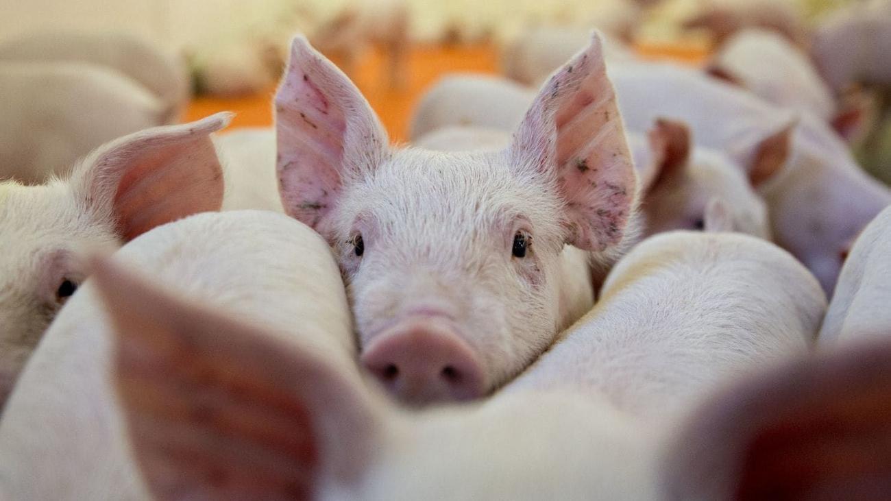 Ученые частично вернули к жизни мертвый мозг свиньи