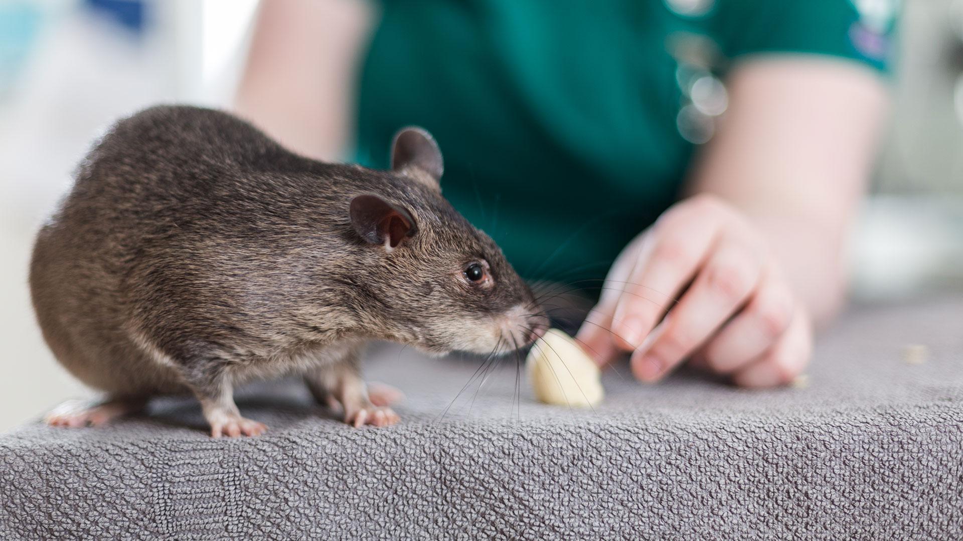 Окситоцин успокоил агрессивных и разозлил ручных крыс