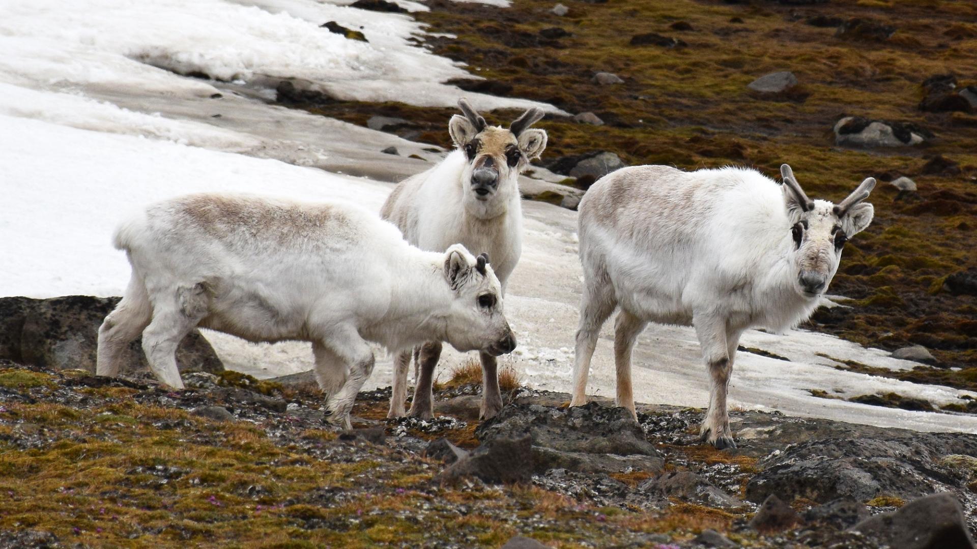 Глобальное потепление заставляет северных оленей переходить на водоросли