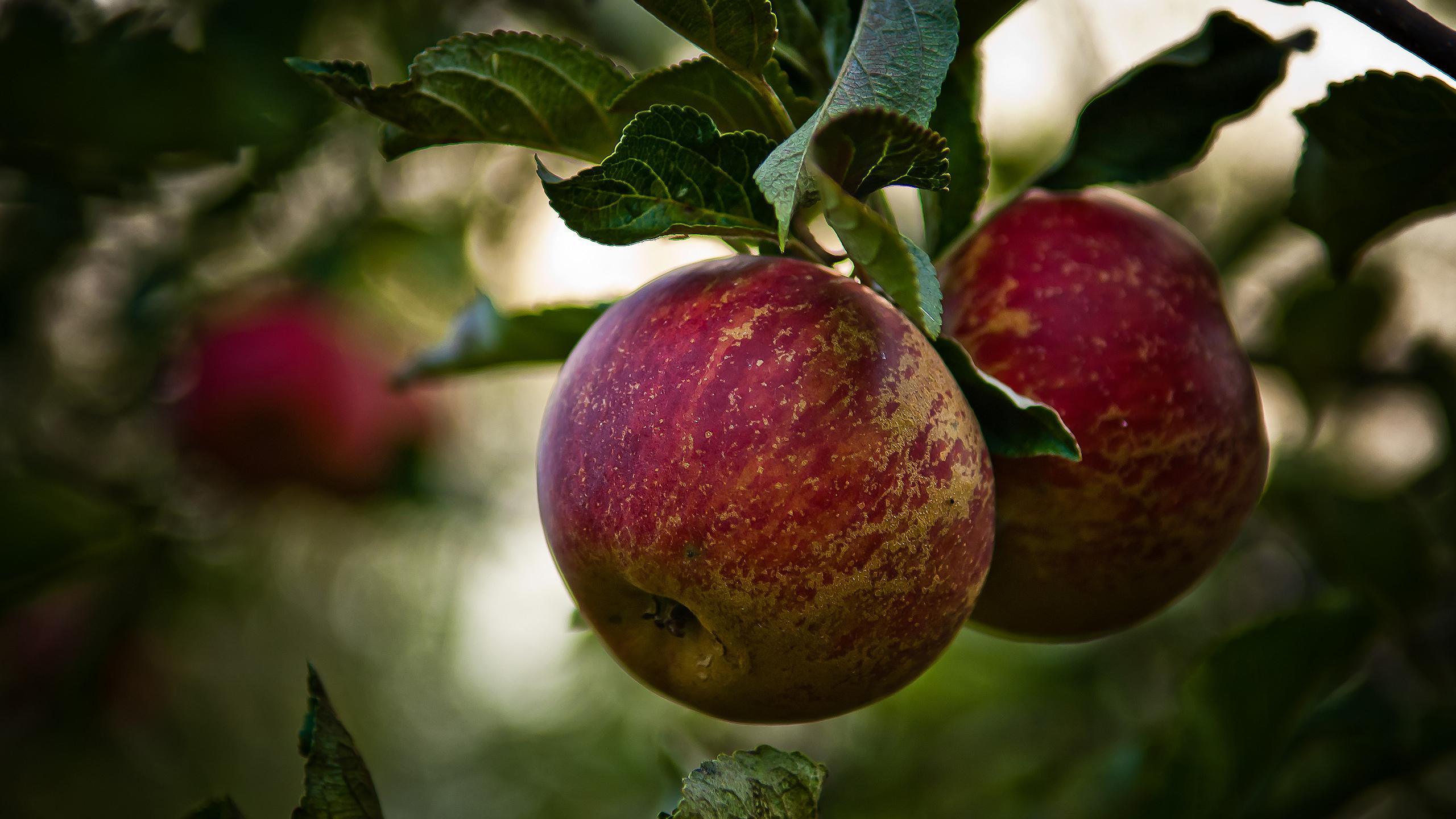 «Одомашнивание» яблони началось еще до людей