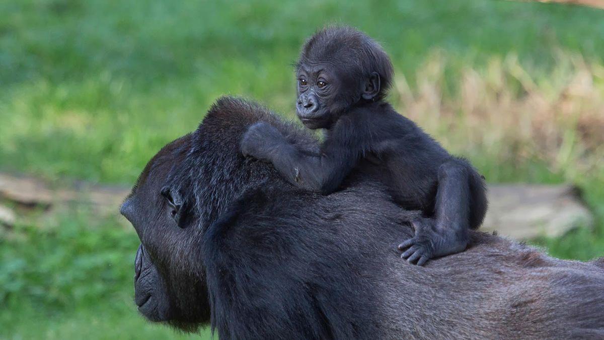 Размер мозга и фертильность у млекопитающих связали с видом воспитания