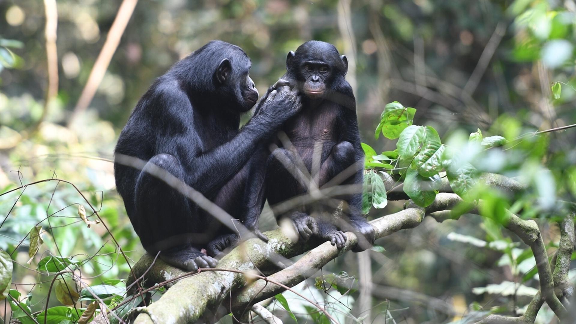 Мамы-шимпанзе помогают сыновьям размножаться