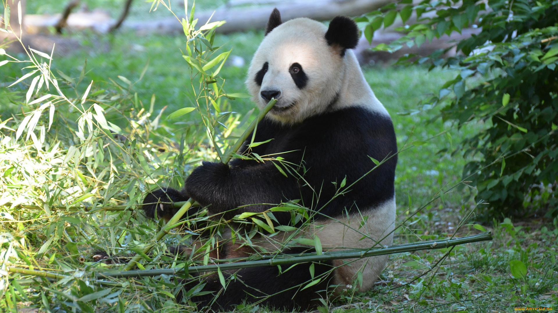 Как панды выживают на растительной диете