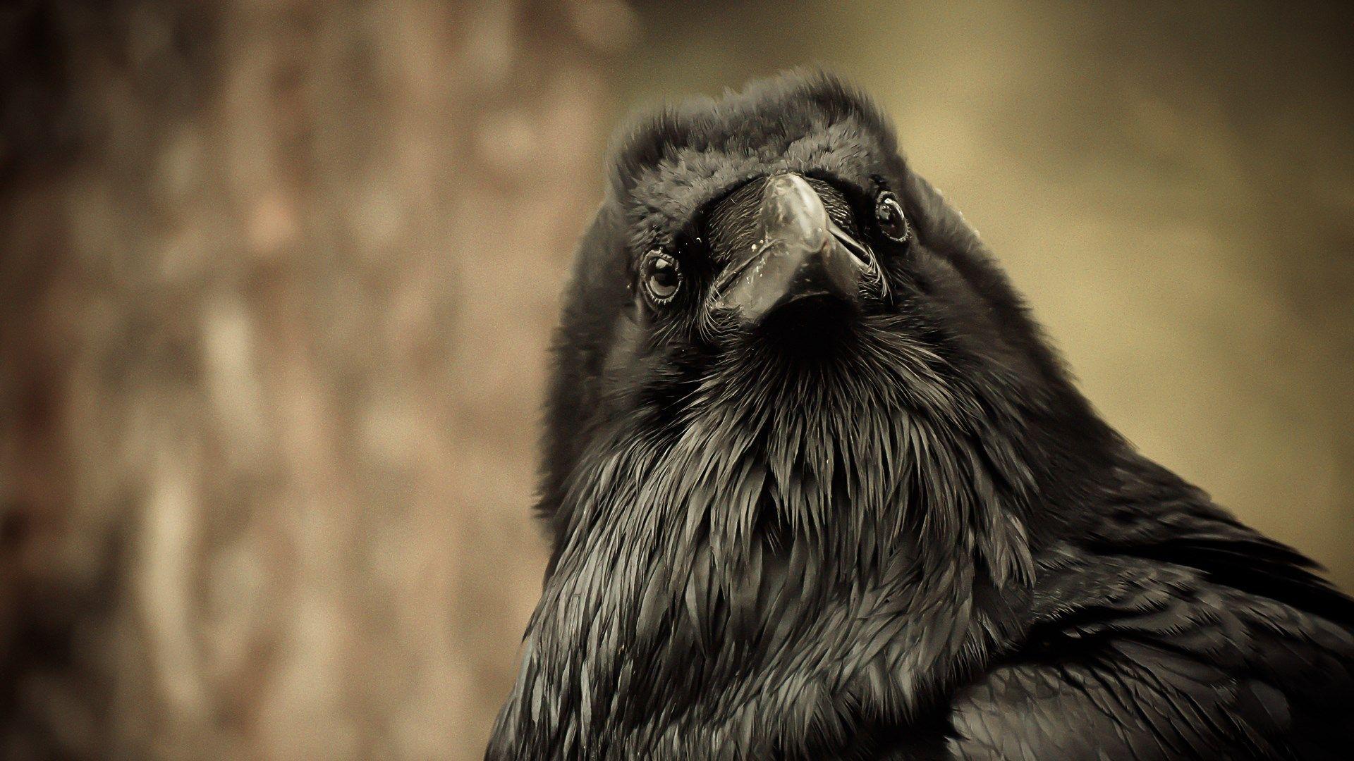 Вороны оказались способны «заражаться» чужими эмоциями