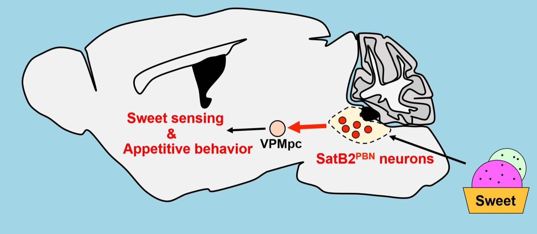Найдены «сладкие» нейроны