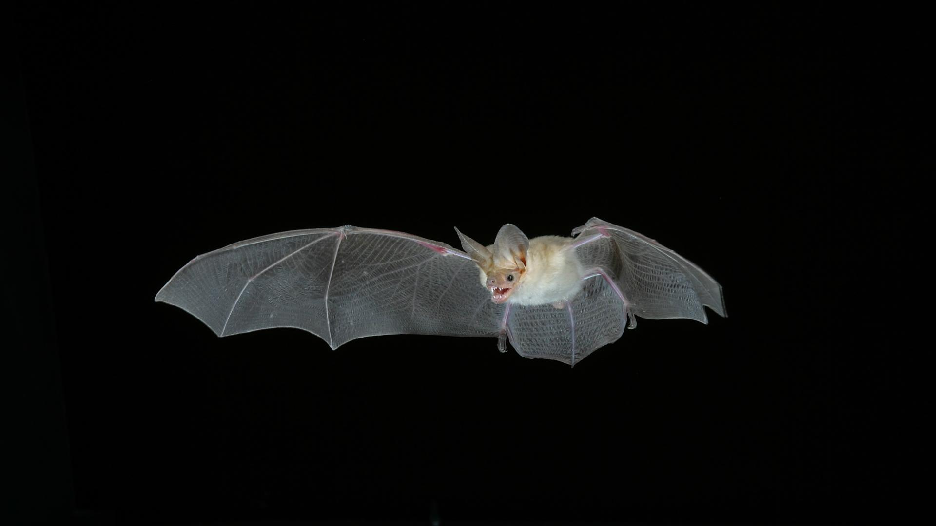 Биологи изучили гены рекордсменов долгожительства — летучих мышей