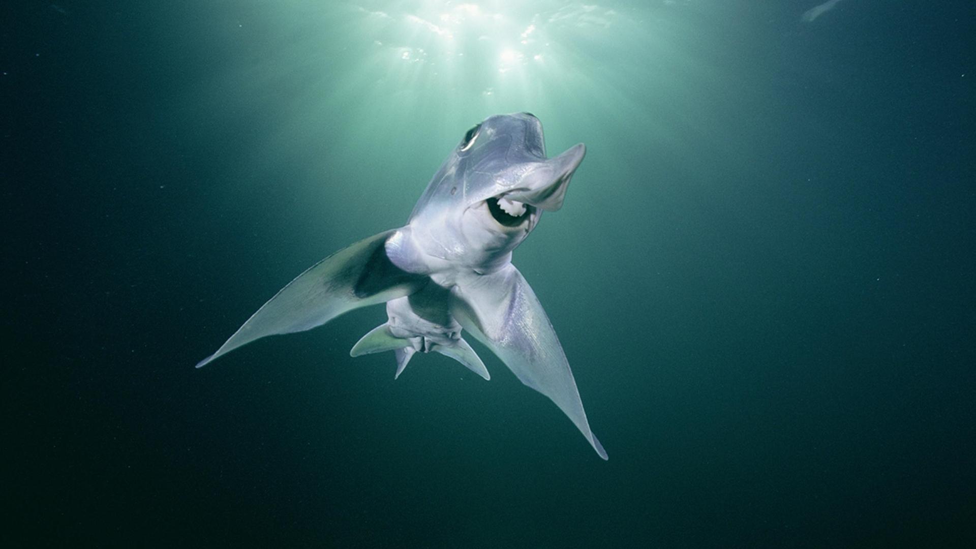 Слоновая акула-призрак помогает разобраться в эволюции наших рецепторов