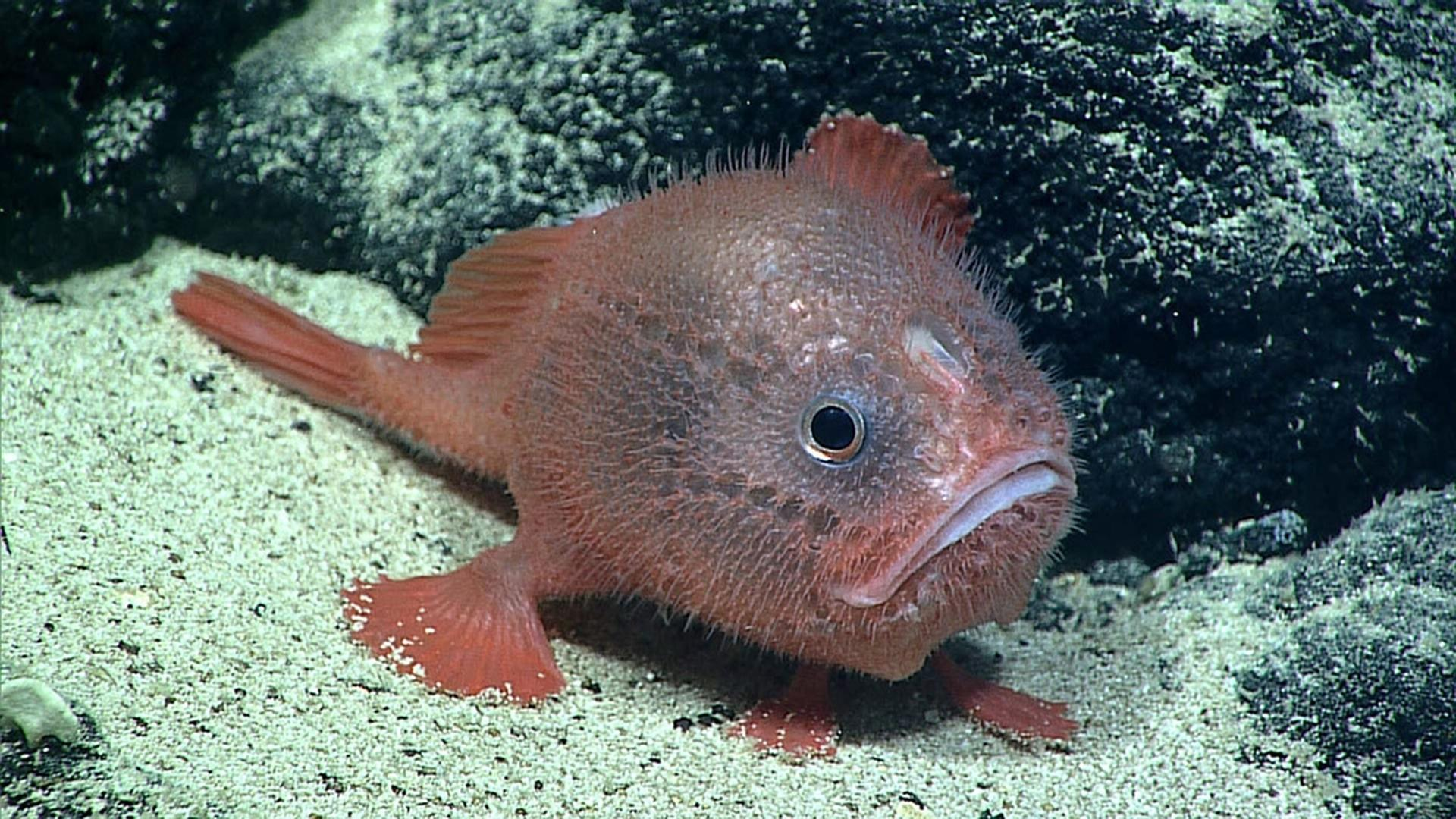 Учёные впервые зафиксировали, как рыба задерживает дыхание под водой