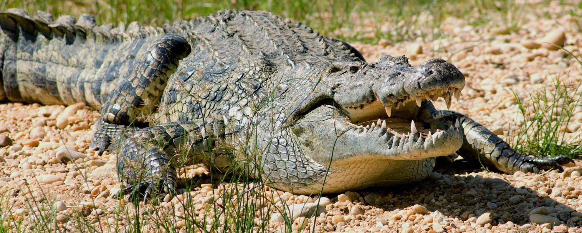 Среди древних крокодилов нашлись вегетарианцы