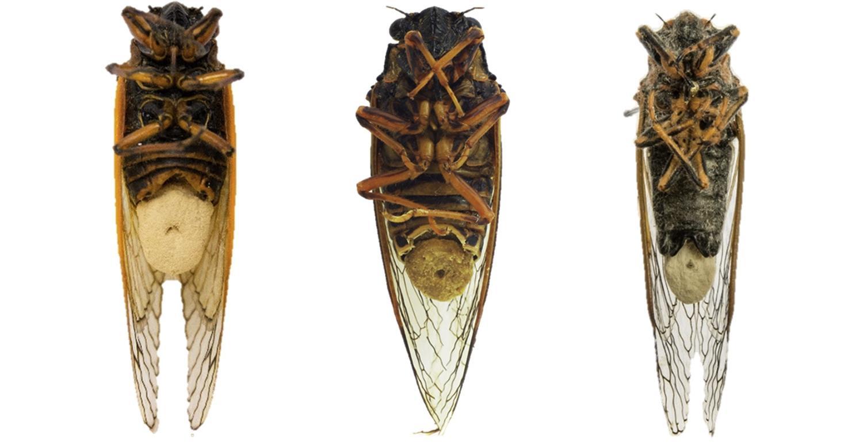 Грибки Massospora cicadina впрыскивают в тело насекомых галлюциногены и стимуляторы