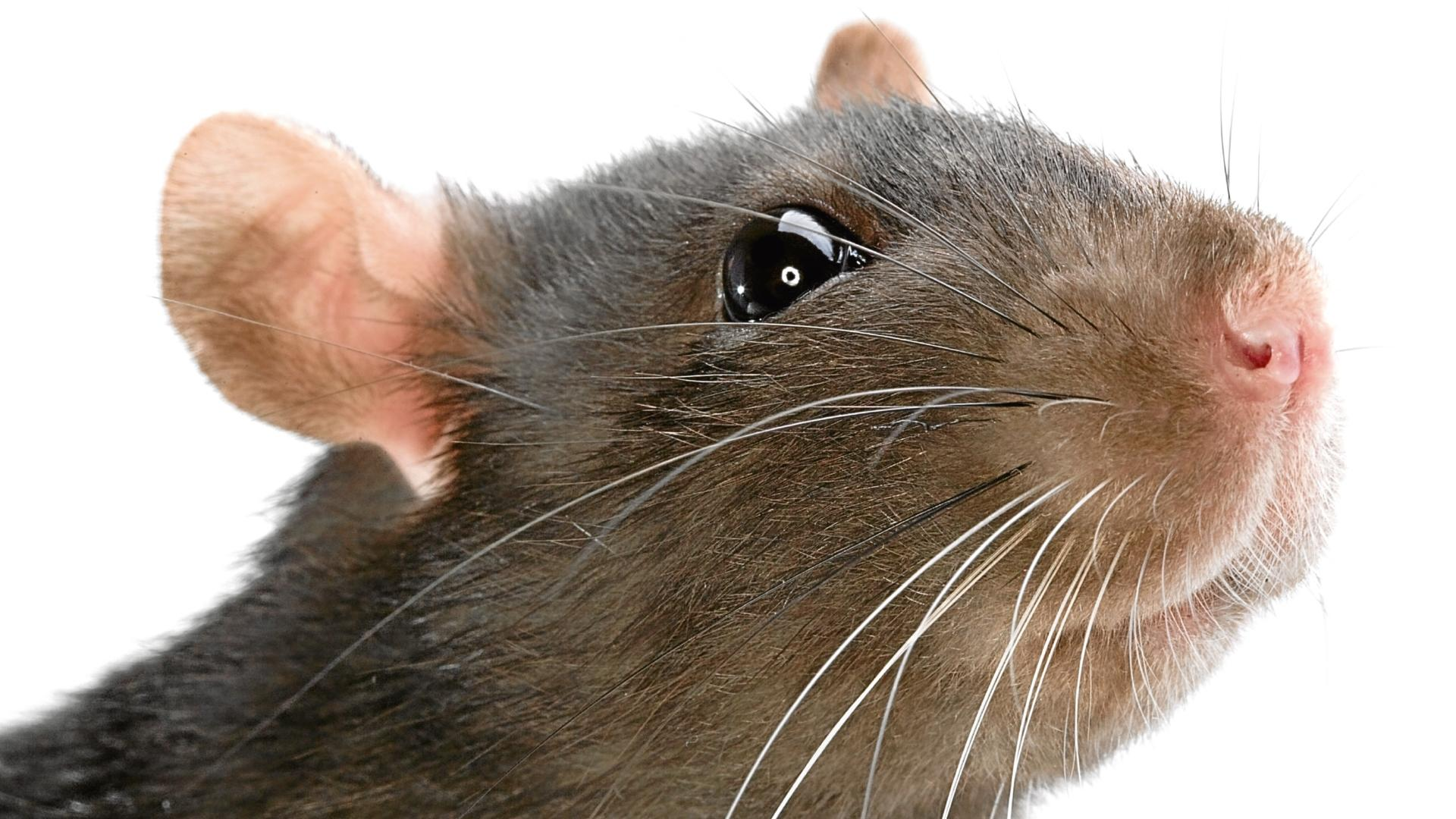 Cпрей из стволовых клеток вернул мышам обоняние